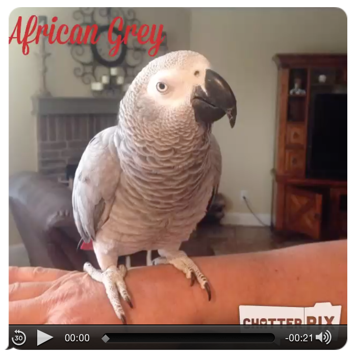 African Grey Chatter Pix
